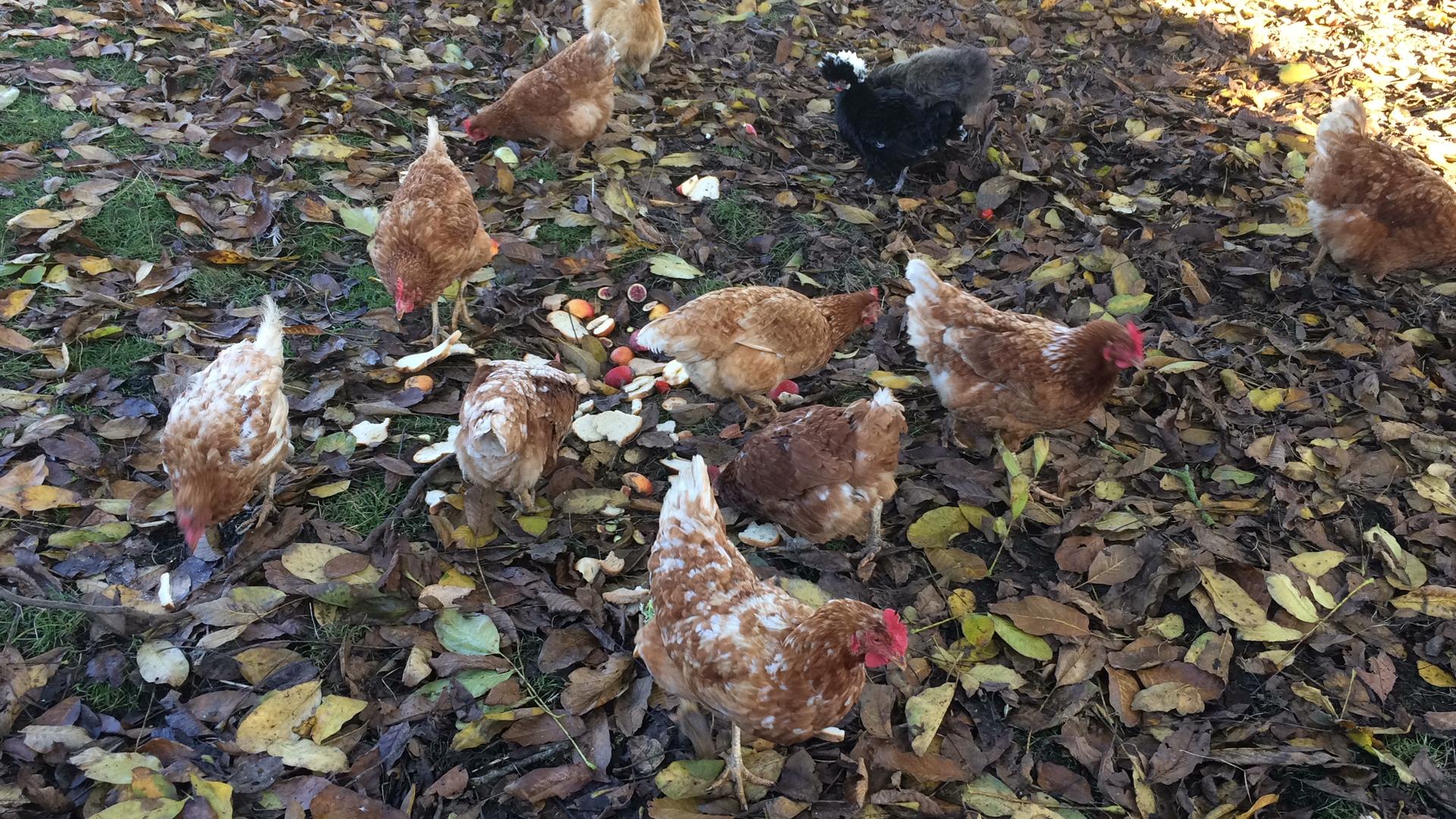 les poules d'Hérauville qui picorent